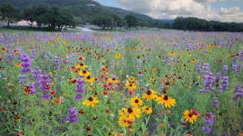 The Wildflower Field at Frio Cañon